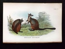 Lloyd 1890's Antique Print. Brush Tailed Rock-Wallaby, Australia Native